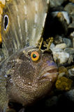 Butterfly Blenny fish. Closeup of a Butterfly Blenny fish near the ocean bottom.  Species:  Blennius ocellaris Stock Photography