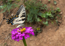 Butterfly on bloom. Beautiful butterfly on a pink bloom Royalty Free Stock Image
