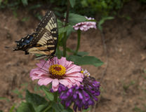 Butterfly on bloom. Beautiful butterfly on a pink bloom Royalty Free Stock Photo