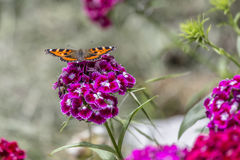 A butterfly on a bloom. In the garden - nature Royalty Free Stock Image