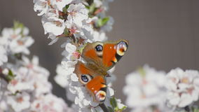 Butterfly on the blooming cherry stock footage