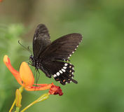 Butterfly on the blooming flower - Papilio polytes polytes Linnaeus Stock Photo