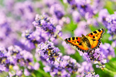 Butterfly on blooming lavender flowers Stock Photography