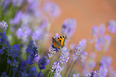 Butterfly on blooming lavender Stock Image