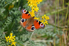 Butterfly on blooming plants Royalty Free Stock Image