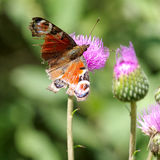 Butterfly on  blooming thistle Stock Photography
