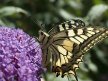 Butterfly on a blossom. Schwalbenschwanz - Papillo machaon - auf Fliederbluete Stock Photo