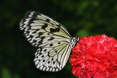 Butterfly on blossom. Close-up of a butterfly on a red blossom Stock Photos