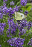 Butterfly on blossoming lavender. White butterfly on blossoming lavender (lat. Lavandula officinalis) flower Royalty Free Stock Photography