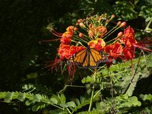 Butterfly blossoms Royalty Free Stock Images
