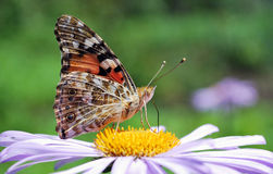 Butterfly on blue aster. Flower close up Stock Photos