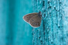 Butterfly on a blue background. Butterfly close-up sits on the wall of an old house. The wall has a blue old rough surface. On the wings of the butterfly there Royalty Free Stock Images