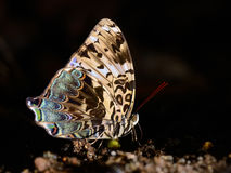 Butterfly ( Blue Begum) , Thailand Stock Photo