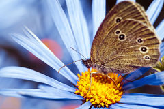 Butterfly on the blue daisy flower Royalty Free Stock Images