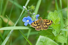 The butterfly on blue flower. The butterfly sits on a forget-me-not flower Stock Photos