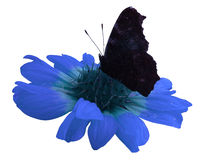 Butterfly on blue  flower  white isolated background with clipping path. Closeup. no shadows. Stock Photos