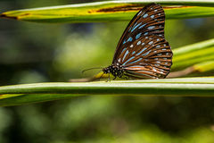Butterfly - Blue Glassy Tiger with bokeh Backgrounds. Butterfly - Blue Glassy Tiger close-up in nature with bokeh Backgrounds. Pang Sida national park. Sa Kaeo royalty free stock image