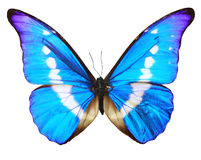 Butterfly blue isolated over whte background Stock Image