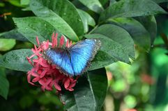 Butterfly Blue monarch on flower. Blue monarch butterfly on a pink flower with water droplets Stock Image