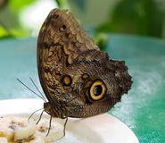 Butterfly Blue morpho Royalty Free Stock Images