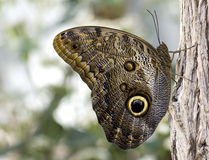 Butterfly blue morpho  Stock Images