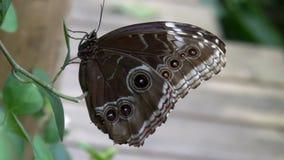 Butterfly Blue Morpho flies away stock footage