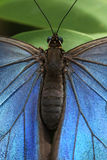 Butterfly Blue Morpho Stock Image