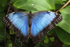Butterfly Blue Morpho Stock Photo
