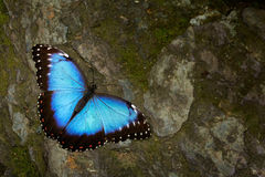 Butterfly Blue Morpho, Morpho peleides. Big blue butterfly sitting on grey rock, beautiful insect in the nature habitat stock photo