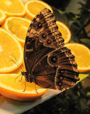 Butterfly Blue Morpho on orange. On table royalty free stock photo