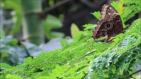 Butterfly blue (Morpho peleides). On leaves stock video
