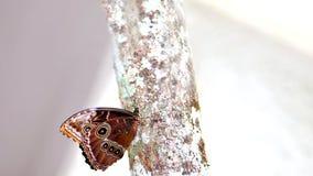 Butterfly, Blue Morpho underside Stock Photography