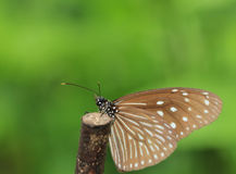 Butterfly,Blue Tiger,Tirumala limniace, Royalty Free Stock Photo