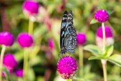 Butterfly, Blue Tiger Tirumala limniace Kerala India. Butterfly, Blue Tiger Tirumala limniace from Kerala in India royalty free stock image