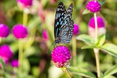 Butterfly, Blue Tiger Tirumala limniace Kerala India. Butterfly, Blue Tiger Tirumala limniace from Kerala in India stock photography