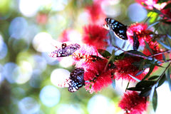 Butterfly Blue and White. Butterflies are very good fliers. They have two pairs of large wings covered with colorful, iridescent scales in overlapping rows.  The Stock Image