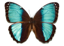 Butterfly with blue wings Stock Photos