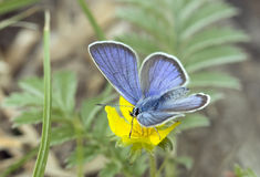 Butterfly Blues (Lycaenidae). Royalty Free Stock Photo