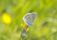 Butterfly Blues (Lycaenidae ) Royalty Free Stock Images