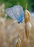 Butterfly blues at the ripe oats Royalty Free Stock Image