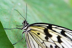 The Butterfly. A butterfly on a BLUETTE Royalty Free Stock Photo