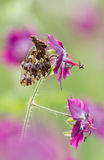 Butterfly (Boloria dia) on flower with a great background Royalty Free Stock Photography