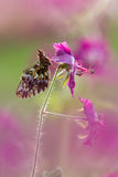 Butterfly (Boloria dia) on flower with a great background Royalty Free Stock Photos