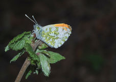 Butterfly on a bramble bud Royalty Free Stock Photography