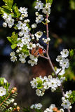 Butterfly on a branch of the blossoming tree Royalty Free Stock Photo