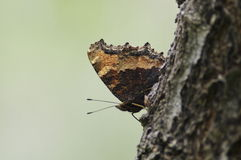 The butterfly on the branch. The butterfly camouflage on stone Royalty Free Stock Photos