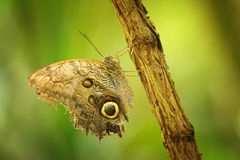 Butterfly on branch with closeup wings showing power of mimicry. Brwon butterfly on branch with closeup wings showing power of mimicry on nice green blurred Royalty Free Stock Photography