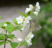 Butterfly on a branch of Jasmine. Beautiful white butterfly sitting on a branch of fragrant Jasmine in the spring Stock Images