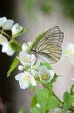 Butterfly on a branch of Jasmine. Beautiful white butterfly sitting on a branch of fragrant Jasmine in the spring Stock Photography