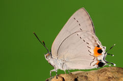 BUTTERFLY ON BRANCH,  Pratapa deva Stock Photography